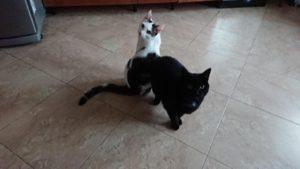 Kot Staś i czarna kotka